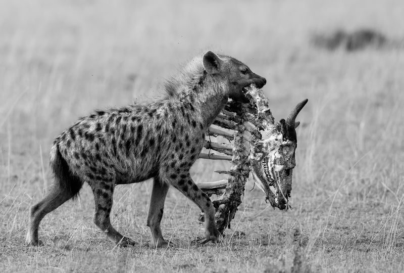 Spotted Hyena With Carcass, Huilgol  Ajit , India