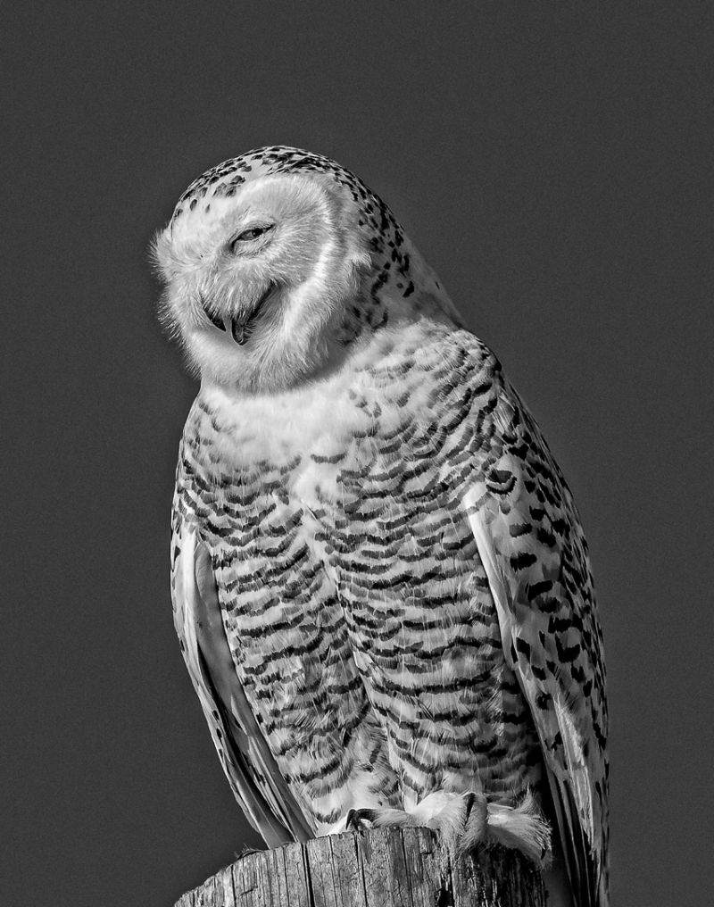 Snowy Owl With Sly Smile, Wong  Katherine , Canada