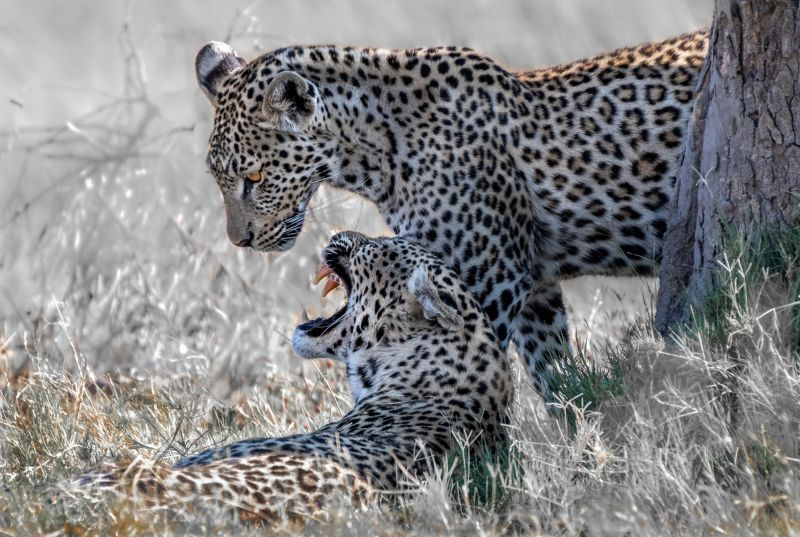 Mother Leopard With Her Roaring Young, Poggioni  Angela , Usa